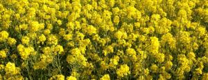 Les bénéfices de la cire végétale de colza
